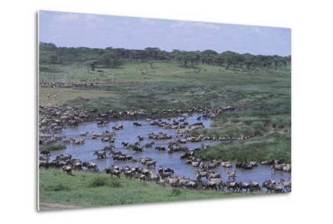 Zebras and Wildebeest at Water Hole-DLILLC-Metal Print