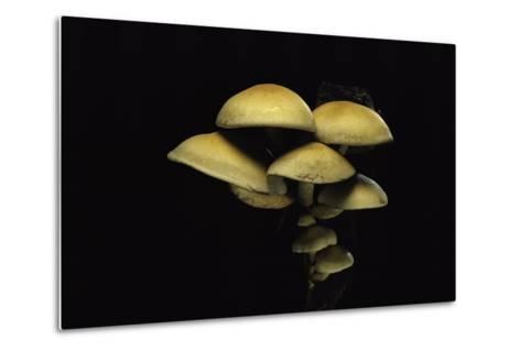 Hypholoma Fasciculare (Sulphur Tuft, Clustered Woodlover)-Paul Starosta-Metal Print