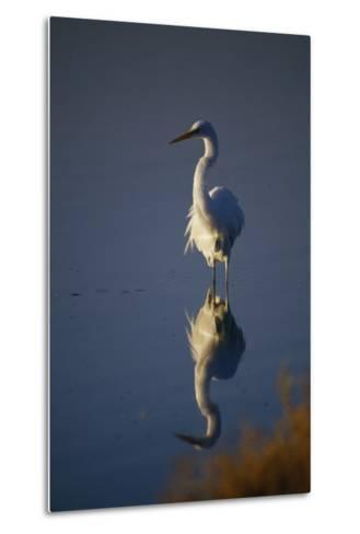 Great Egret and Reflection-DLILLC-Metal Print