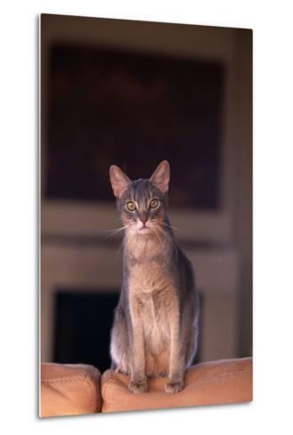 Abyssinian Blue Cat Sitting on Sofa-DLILLC-Metal Print