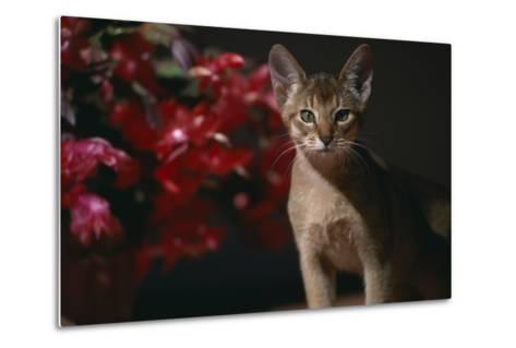 Abyssinian Ruddy Cat next to Plant-DLILLC-Metal Print