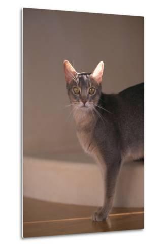 Abyssinian Blue Cat on Step-DLILLC-Metal Print