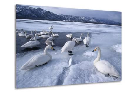 Whooper Swans on Frozen Lake-DLILLC-Metal Print