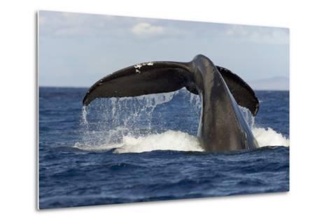 Hawaii, Lanai, Tail of a Humpback Whale (Megaptera Novaeangliae)-Design Pics Inc-Metal Print