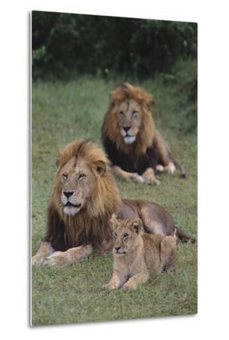 Adult Lions with Cub in Grass-DLILLC-Metal Print