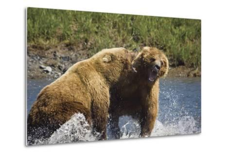 Two Brown Bears Fight over Salmon at Mikfik Creek During Summer in Southwest Alaska-Design Pics Inc-Metal Print