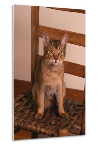 Abyssinian Ruddy Cat Sitting on Chair-DLILLC-Metal Print