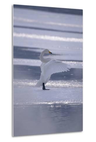 Whooper Swan Standing on Ice-DLILLC-Metal Print