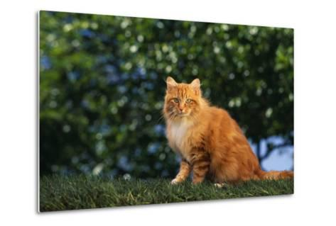 Yellow Cat on Grass-DLILLC-Metal Print