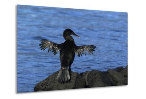 Flightless Cormorant Perched on Rock-DLILLC-Metal Print