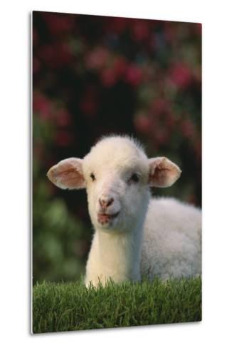 Lamb in Grass-DLILLC-Metal Print