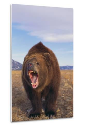 Roaring Grizzly-DLILLC-Metal Print