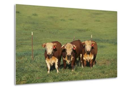 Hereford Cattle-DLILLC-Metal Print