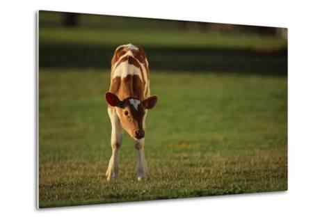 Holstein-Jersey Mix Calf-DLILLC-Metal Print