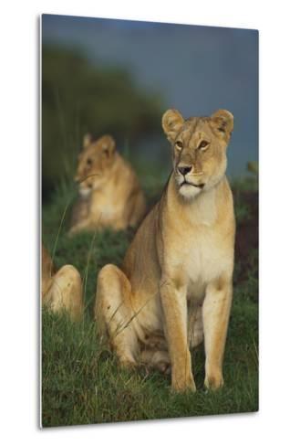Lions in Grass-DLILLC-Metal Print
