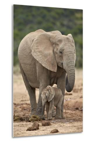 African Elephant (Loxodonta Africana) Mother and Baby-James Hager-Metal Print