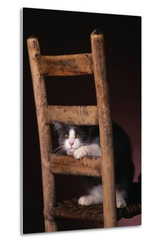 Gray and White Cat Looking through Wood Chair-DLILLC-Metal Print