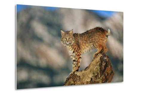 Bobcat Perched on Rock-DLILLC-Metal Print
