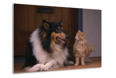 Collie and Cat Sitting on Front Step-DLILLC-Metal Print
