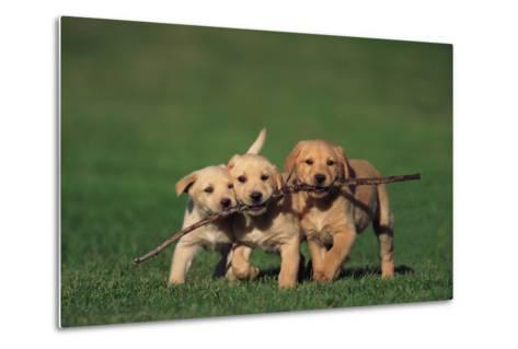 Yellow Lab Puppies Playing with Stick-DLILLC-Metal Print