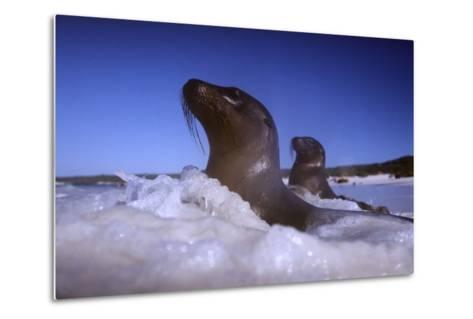 Sea Lions amidst Surf-DLILLC-Metal Print