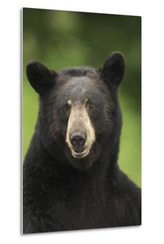 Portrait of Black Bear Minnesota Summer Digitalnot Captive-Design Pics Inc-Metal Print