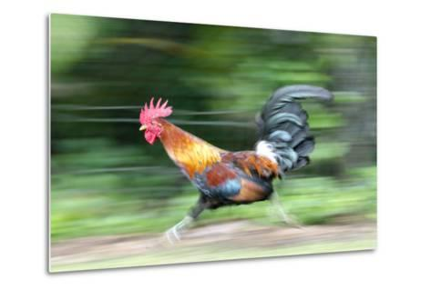 Motion Blur of a Wild Rooster at Hanalei Beach on the Na Pali Coast of Kauai, Hawaii-Rich Reid-Metal Print