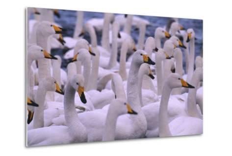 Whooper Swans-DLILLC-Metal Print