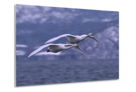 Whooper Swans Flying over Water-DLILLC-Metal Print