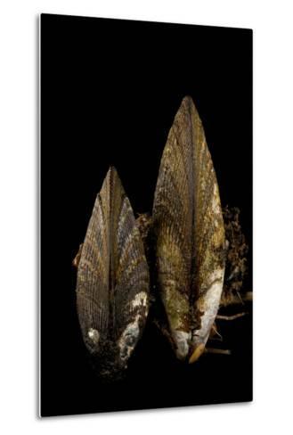 Ribbed Mussels, Modiolus Demissus, in Seaside Park, New Jersey-Joel Sartore-Metal Print