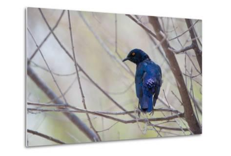A Cape Glossy Starling, Lamprotornis Nitens, Rests on a Branch in Etosha National Park-Alex Saberi-Metal Print