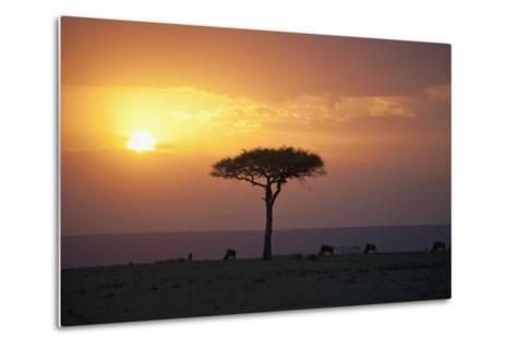 Acacia Trees at Sunset, Mara River, Maasai Mara, Kenya, Africa-Design Pics Inc-Metal Print