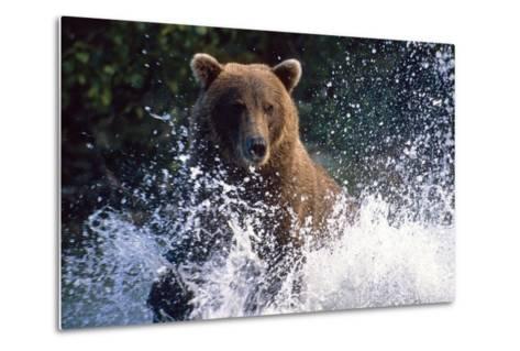 Charging Grizzly Splashing Through Water Shelikof Straight Katmai Nat Park Summer Southwest Alaska-Design Pics Inc-Metal Print