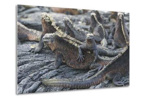 Marine Iguanas-DLILLC-Metal Print