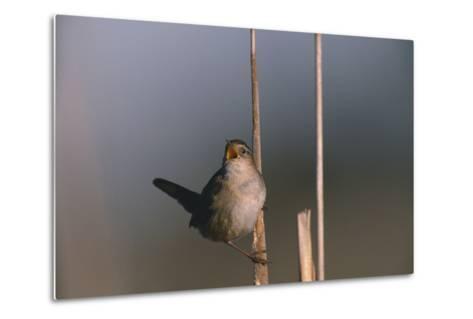 Marsh Wren Singing-DLILLC-Metal Print