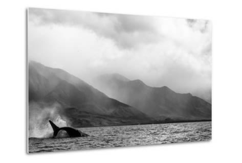 A Humpback Whale Flips its Tail in the Pacific Ocean-Ralph Lee Hopkins-Metal Print
