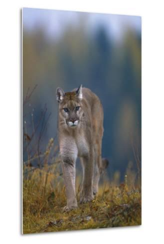 Cougar in Autumn-DLILLC-Metal Print