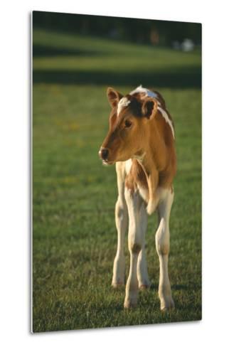 Calf Standing in Field-DLILLC-Metal Print