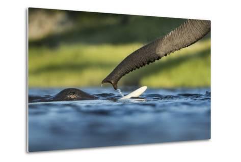 African Elephants in Chobe River, Chobe National Park, Botswana-Paul Souders-Metal Print
