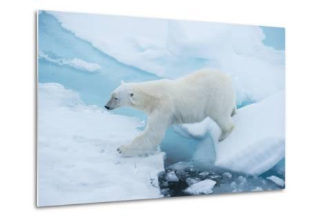 A Polar Bear Steps from One Chunk of Drift Ice to Another-Michael Melford-Metal Print