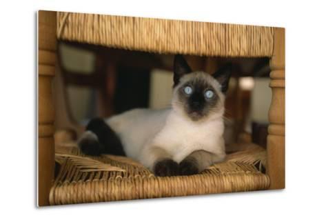 Siamese Cat on Chair-DLILLC-Metal Print