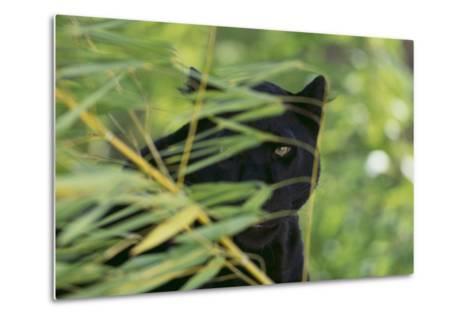 Black Leopard behind Leaves-DLILLC-Metal Print