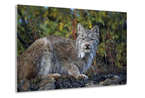 Adult Lynx on Hill Side Denali Np in Alaska Summer-Design Pics Inc-Metal Print