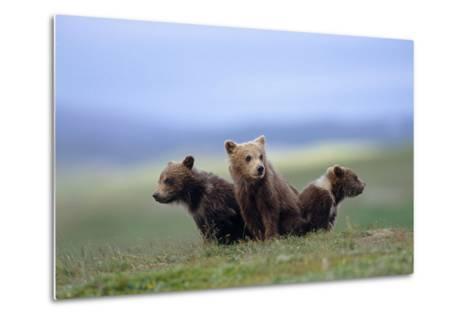 4 Young Brown Bear Cubs Huddled Together on Tundra Katmai National Park Southwest Alaska Summer-Design Pics Inc-Metal Print