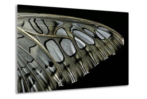 Parthenos Sylvia (Clipper Butterfly) - Wings Detail-Paul Starosta-Metal Print