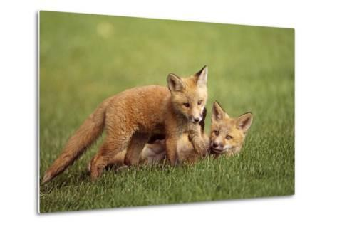 Red Fox Kits Playing Together on Golf Course on Elmendorf Airforce Base Anchorage Alaska Summer-Design Pics Inc-Metal Print