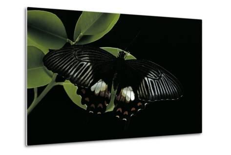 Papilio Polytes (Common Mormon)-Paul Starosta-Metal Print