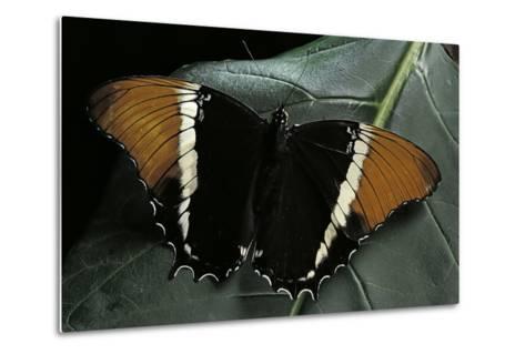Siproeta Epaphus (Rusty-Tipped Page, Brown Siproeta) - Female-Paul Starosta-Metal Print
