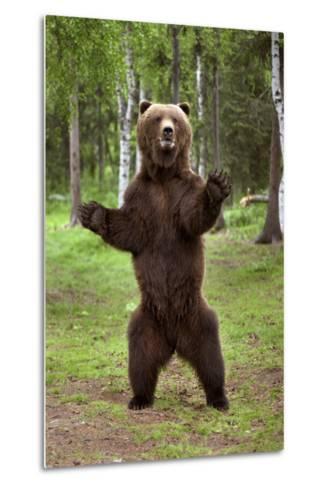 Brown Bear Standing on Hind Legs Southcentral Alaska Summer-Design Pics Inc-Metal Print