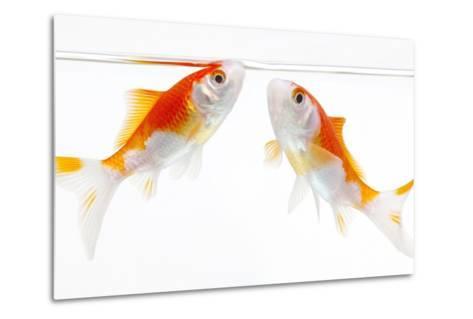 Goldfish Swimming in Water-Herbert Kehrer-Metal Print